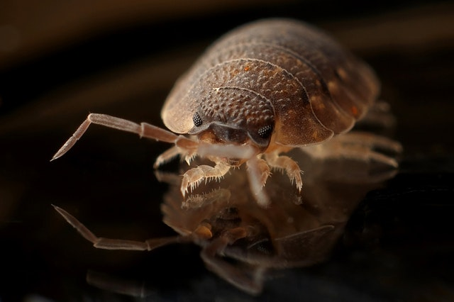 How do Bed Bugs Travel From Room to Room?