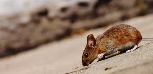 Rats in Attic at Night