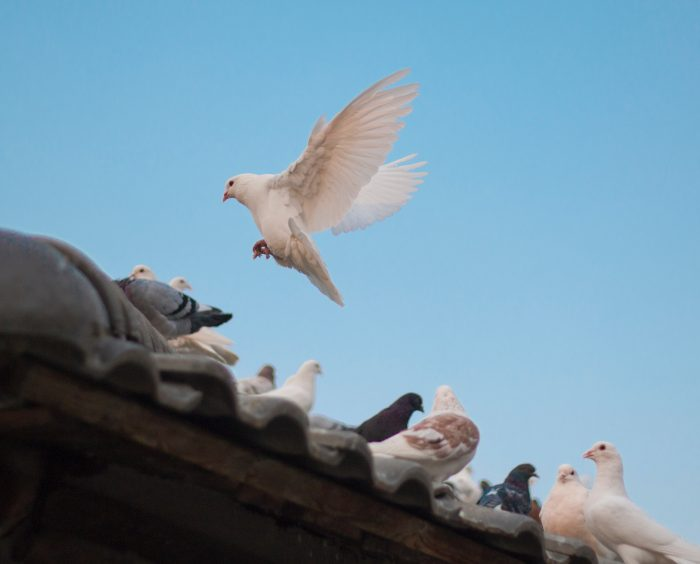 How to Remove Pigeons from Roof